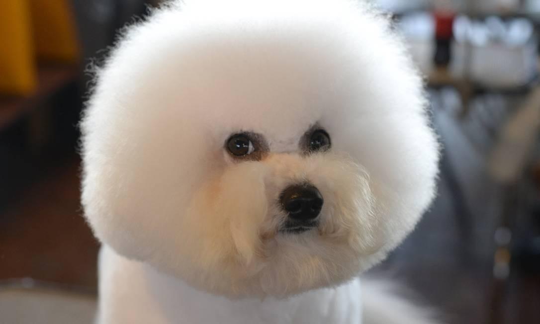 O permanente do cão da raça Bichon Frises não lembra um Black Power? TIMOTHY CLARY / AFP