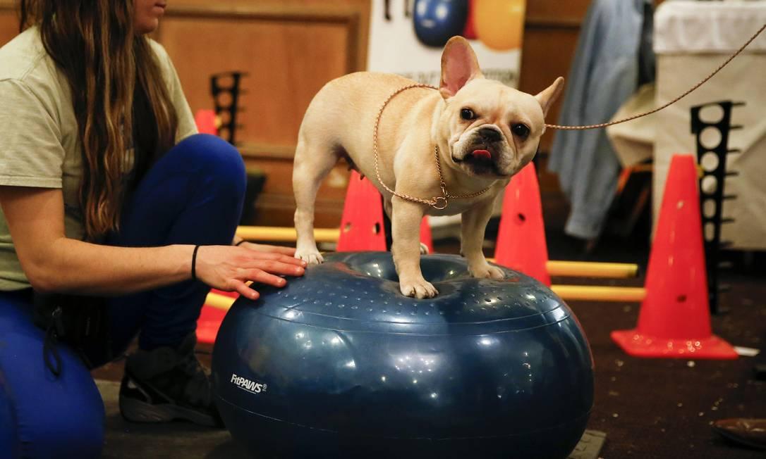 E não é só beleza que conta ponto neste concurso, mas a postura também é essencial. Olha essa cadelinha tentando se equilibrar em cima de um bosu SHANNON STAPLETON / Reuters