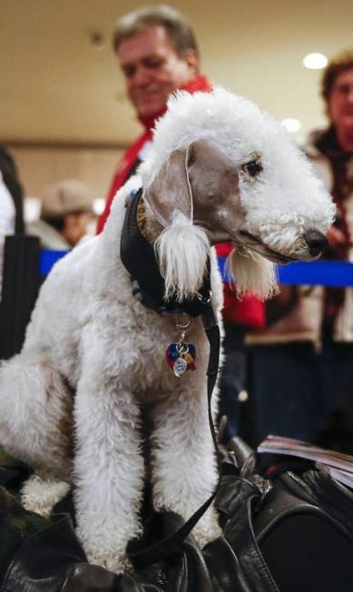 Um Bedlington Terrier ganhou corte exótico. As orelhinhas, tosadas, formam dois pompons nas pontas SHANNON STAPLETON / Reuters