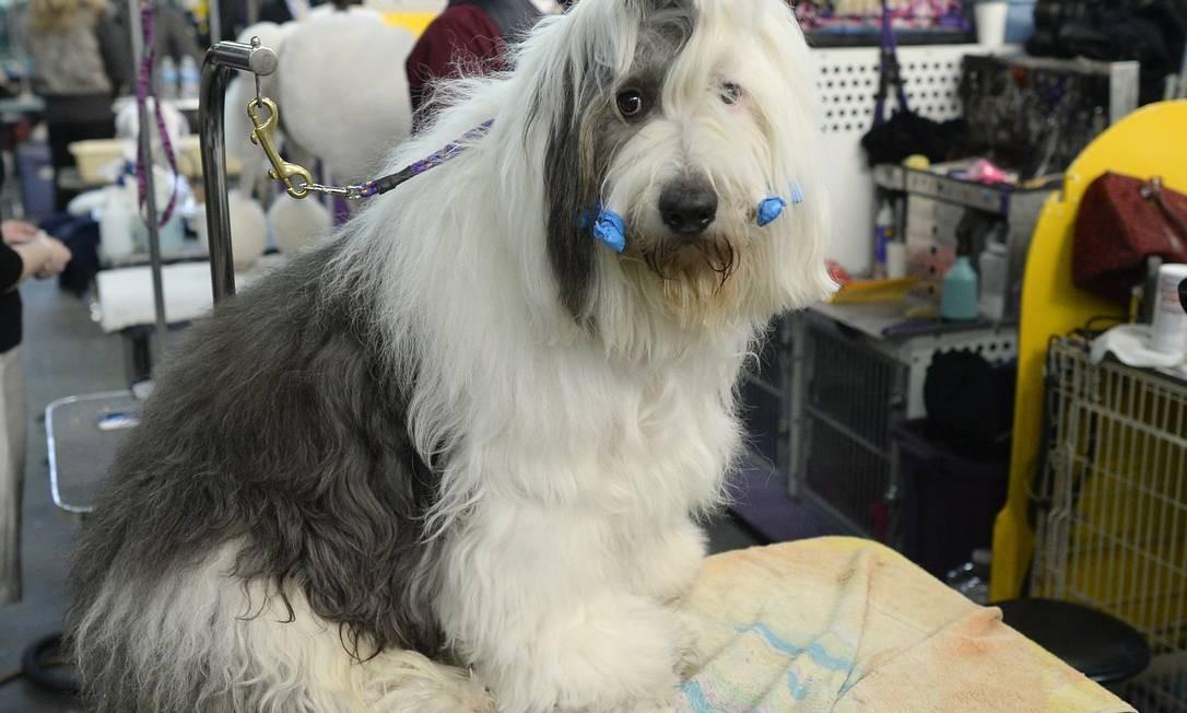 Enquanto aguarda o início do concurso, um Old English Sheepdog tem os bigodes presos, como se fossem bobes de cabelo TIMOTHY CLARY / AFP