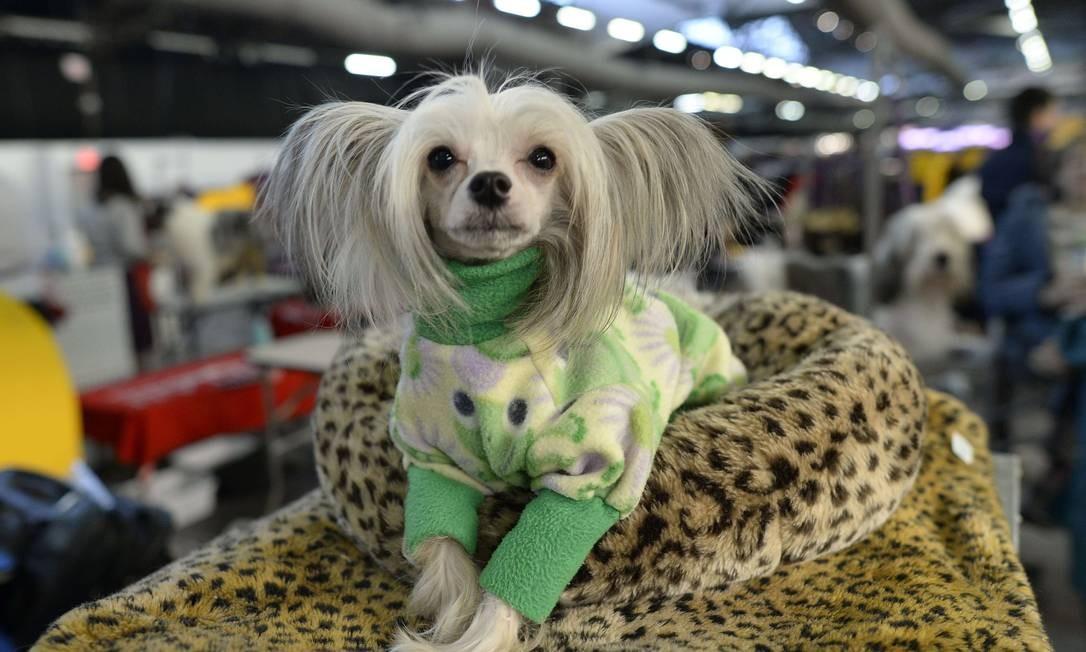 As orelhas deste cão de crista chinês parecem duas marias chiquinhas TIMOTHY CLARY / AFP