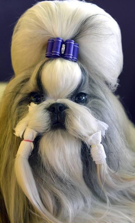 """Uma cachorrinha da raça Shih Tzu ganha penteado digno de miss na 138ª edição da competição Westminster Kennel Club Dog Show, em Nova York. O tradicional concurso, que acontece todo o ano na cidade, reúne cães de raças e é dividido em categorias como """"melhor do evento"""" e """"mais bonito"""". TIMOTHY CLARY / AFP"""