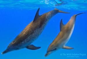 Golfinhos pintado-do-atlântico e nariz-de-garrafa passam 15% do tempo juntos em grupo nas Bahamas Foto: DIVULGAÇÃO/THE WILD DOLPHIN PROJECT
