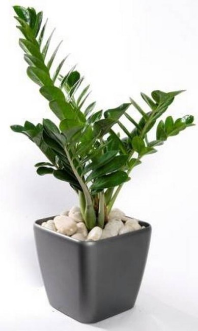 Zamioculca: planta baixa, ideal para apoiar em cima da mesa Terceiro / Divulgação