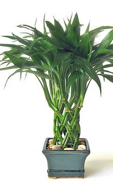 Bambu da sorte: vive em vasos só com água, até em ambientes com ar-condicionado Terceiro / Divulgação