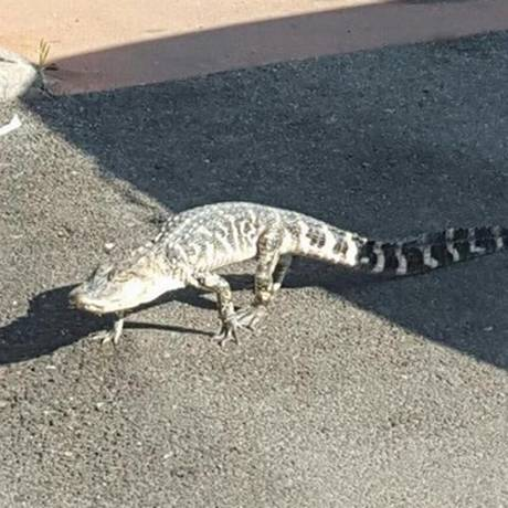 Jacaré estava prestes a atravessar avenida quando foi capturado Foto: Reprodução/Twitter