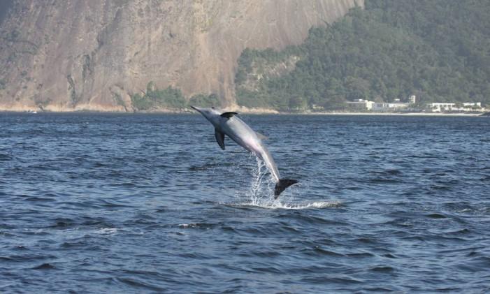 Golfinho-de-dentes-rugosos caça peixe-espada na Baía Foto: Projeto Maqua da Uerj / Divulgação