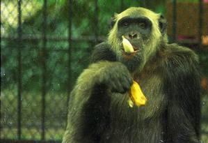 Celebridade. O mal-humorado Macaco Tião, no Zoo do Rio: fama de atirar excrementos no público, especialmente em políticos, e