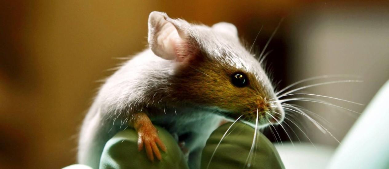 Estudo com camundongos provou a relação entre bactérias do intestino e alterações psicológicas Foto: ROBERT F. BUKATY / AP