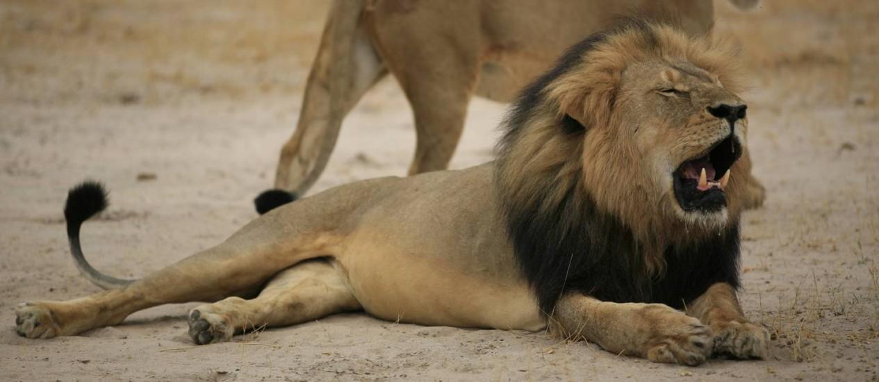 Cecil, o leão símbolo do Zimbábue, foi morto e esquartejado Foto: - / AFP