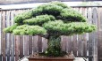 O pinheiro branco japonês foi doado em 1976 para museu de Washington