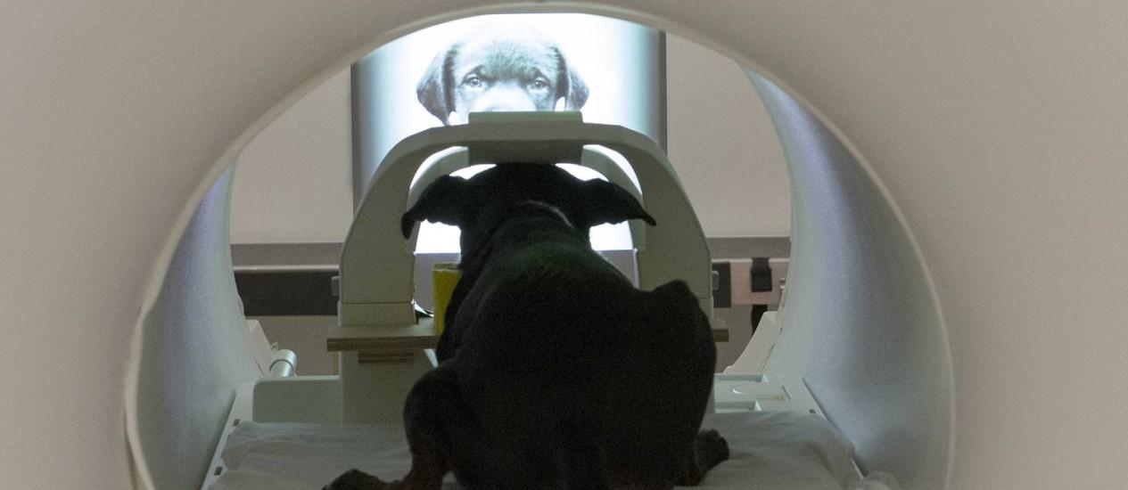 Cães não costumam interagir com imagens bidimensionais, mas tiveram que passar por treinamento para aprender a prestar atenção à tela Foto: Gregory Berns/ Emory University