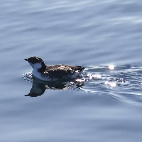 O Synthliboramphus antiquus é uma ave marinha com hábitos ainda pouco conhecidos pela ciência Foto: Central Coast Biodiversity/Josh Silberg