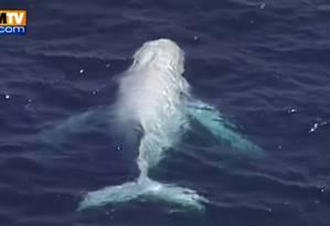 Imagens da baleia jubarte albina foram captadas por emissora de TV local Foto: REPRODUÇÃO