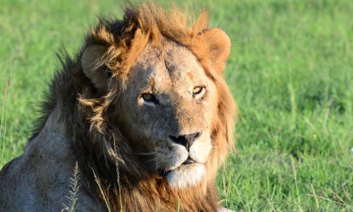 Um leão macho adulto em um parque nacional no Quênia Foto: Divulgação/World Animal Protection