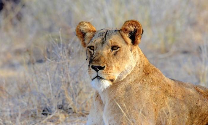Uma leoa em um parque nacional no Quênia Foto: Divulgação/World Animal Protection