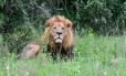 Leão macho adulto descansa em um parque nacional no Quênia