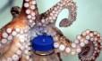 Polvos são considerados os animais marinhos mais inteligentes por realizar funções como abrir uma garrafa de rosca