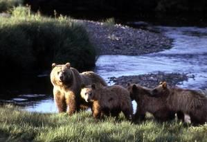 Os ursos cinzentos são numerosos no Parque Nacional de Yellowstone Foto: SERVIÇO NACIONAL DE PARQUES