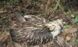 A águia batizada de Pamana morta semanas após ser libertada