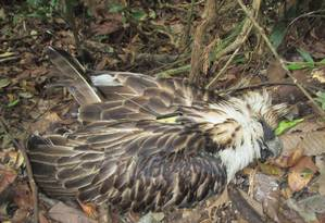 A águia batizada de Pamana morta semanas após ser libertada Foto: PEF / AFP