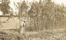 """A entrada da maconha no Brasil é atribuída a vinda de africanos escravos, que tinham o hábito de fumar cannabis. Acima, uma plantação de cânhamo no estado do Arizona, nos EUA, no início do século XX. No alto, o dramaturgo inglês William Shakespeare, que teria fumado a erva em cachimbos. Já o presidente americano Thomas Jefferson tinha plantações de cânhamo para produzir papel, enquanto o escritor francês Charles Baudelaire criou o """"Clube dos Haxixeiros"""" no século XIX"""