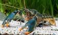 A nova espécie de lagostim que receu o nome 'Cherax snowden' em homenagem ao ex-funcionário da CIA