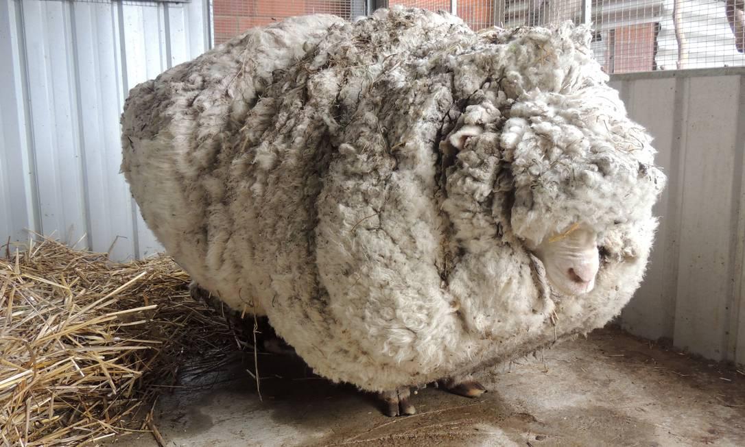 """A Austrália precisou chamar com urgência um campeão nacional de tosa para ajudar uma ovelha """"obesa"""" encontrada nas proximidades de Canberra, capital do país HONS / AP"""