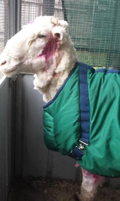 Após a tosa, ovelha perdeu cerca de metade de seu peso total HONS / AP
