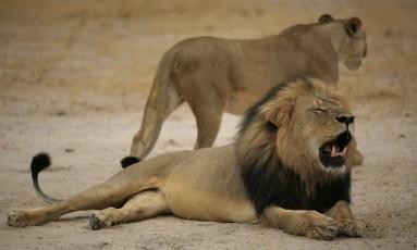 Cecil, o leão-símbolo do Zimbábue, foi morto em julho, no Parque Nacional de Hwange, pelo dentista americano Walter Palmer, causando comoção mundial Foto: AFP/ 21-10-2012