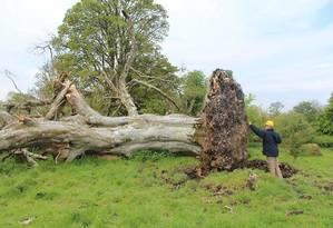 Parte superior do esqueleto ficou presa na raiz de árvore de mais de 200 anos Foto: Sligo-Leitrim Archaeological Services