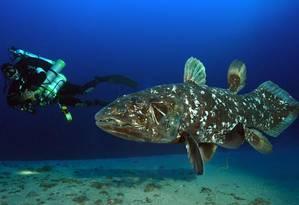 Os celacantos vivem nas profundezas do Oceano Índico e chegam a medir dois metros de comprimento Foto: Facebook/Laurent Ballesta