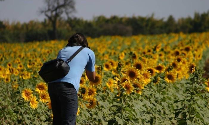 Plantação de girassóis em Holambra Foto: Reprodução / Creative Commons