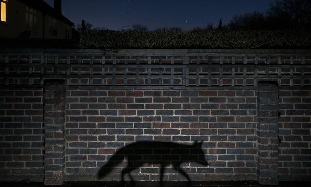 Com imagem da sombra de uma raposa, o britânico Richard Peters venceu o prêmio na categoria Urbano Richard Peters / Wildlife Photographer of the Year 2015