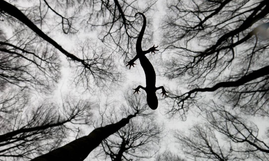 """Na categoria """"Anfíbios e répteis"""", o vencedor foi o holandês Edwin Giesbers que flagrou a movimentação de uma salamandra sobre a superfície de um riacho Edwin Giesbers / Wildlife Photographer of the Year 2015"""