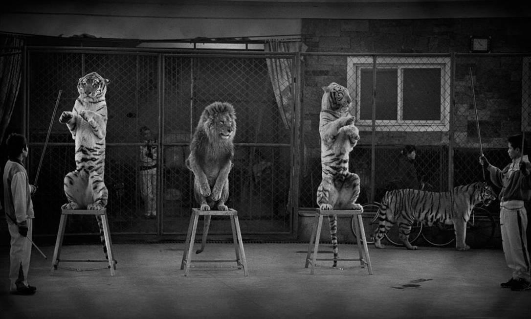 Com essa imagem de grandes felinos num parque na China, Britta Jaschinski venceu na categoria Imagem Avulsa de Fotojornalismo. Os animais tiveram suas presas e garras arrancadas, o que levou Britta a chamá-los de 'Gatos abatidos' Britta Jaschinski / Wildlife Photographer of the Year 2015