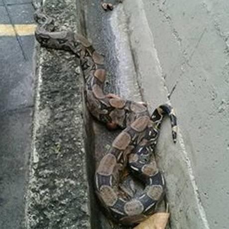 A cobra, batizada de Latorraca, chegou ao prédio a procura de água Foto: Divulgação/ SOS Aves e Cia