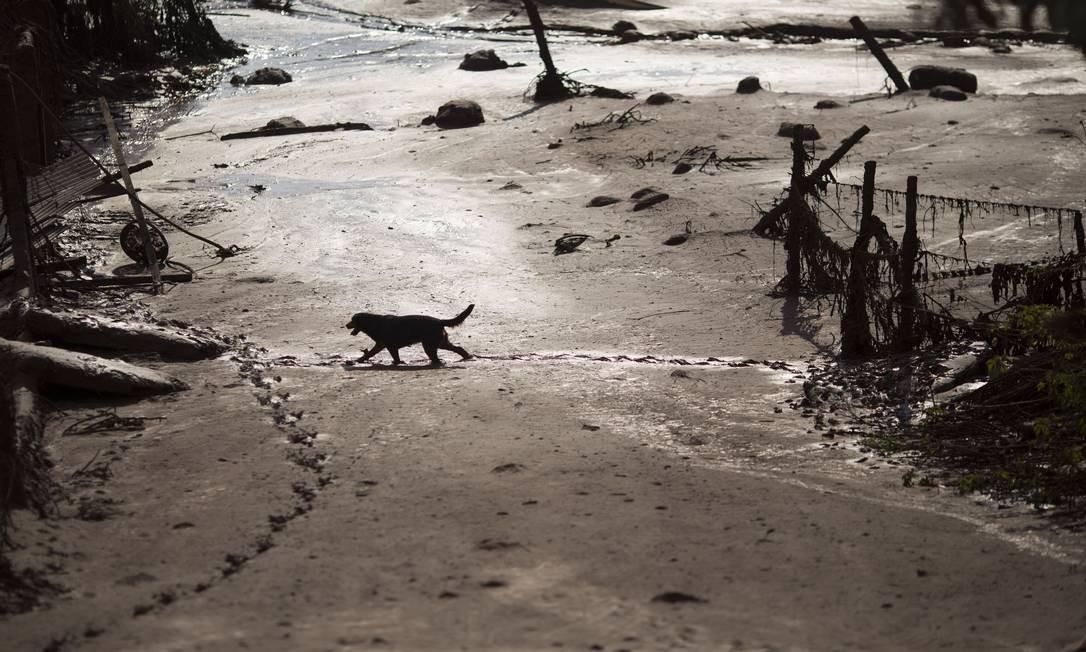 Cachorro caminha na lama no distrito de Bento Rodrigues, destruído pelo rompimento das barragens Foto: Felipe Dana / AP