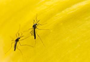 Mosquitos transgênicos da empresa britânica Oxitec aguardam desde o ano passado definição da Anvisa para entrar na guerra contra a dengue e agora também contra o zika e chicungunha Foto: Divulgação/Alexandre Carvalho