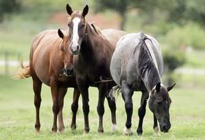 Em 2006, a americana ViaGen clonou dois cavalos campeões Foto: AFP/VIAGEN