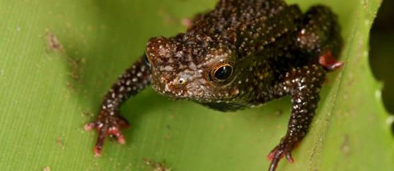 Exemplar do 'Melanophryniscus milanoi', uma das três novas espécies de sapo identificadas em Santa Catarina, sobre uma folha de bromélia Foto: Luiz Fernando Ribeiro/Fundação Grupo Boticário