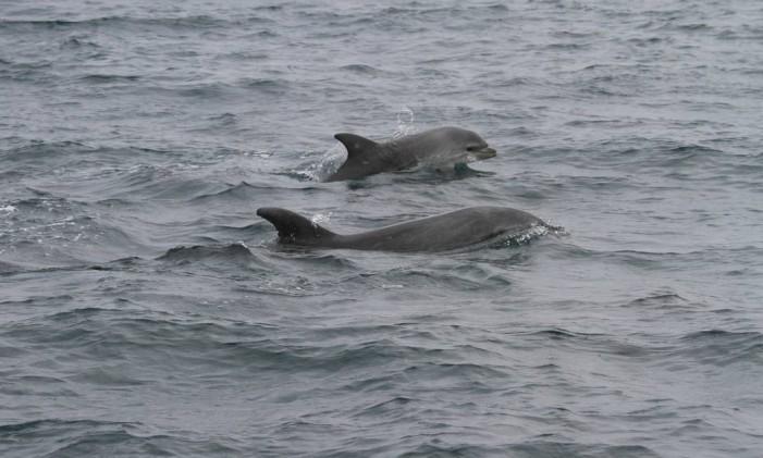Golfinhos voltam a ser vistos no Arquipélago das Cagarras Foto: Liliane Lodi