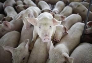 Porcos numa fazenda mexicana Foto: Alexandre Meneghini / AP