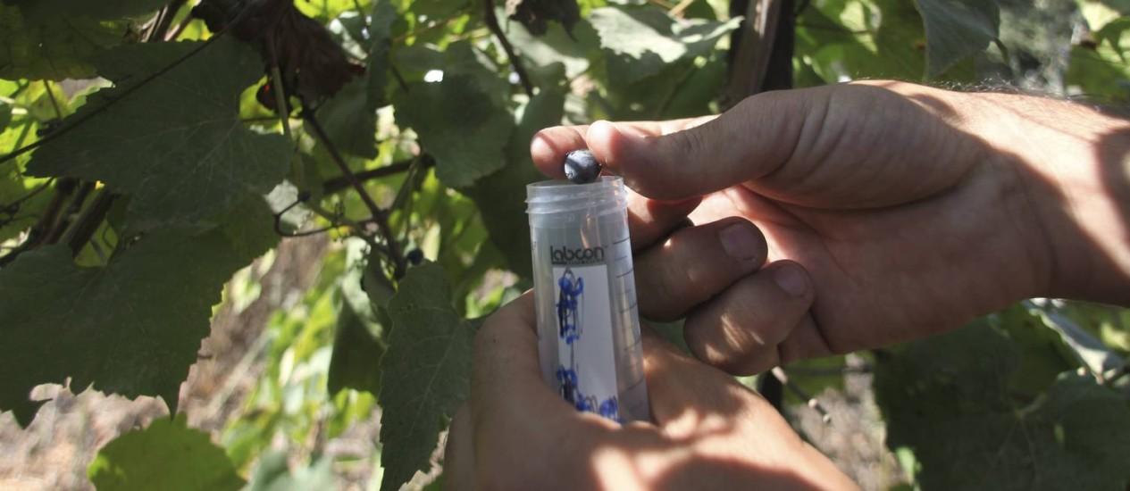 Uva recolhida por enólogo da Ariel University; especialista lidera as pesquisas para identificar e recriar vinhos antigos Foto: RINA CASTELNUOVO / NYT