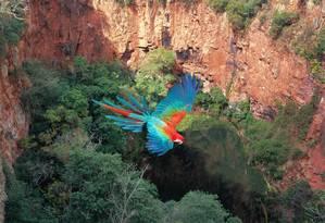 Arara em Bonito, no Mato Grosso do Sul Foto: Cristian Dalgas / Divulgação
