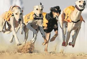 Corrida de cães da raça saluki nos Emirados Árabes: influência humana para perpetuar certos traços foi danosa Foto: KARIM SAHIB/AFP/19-12-2015
