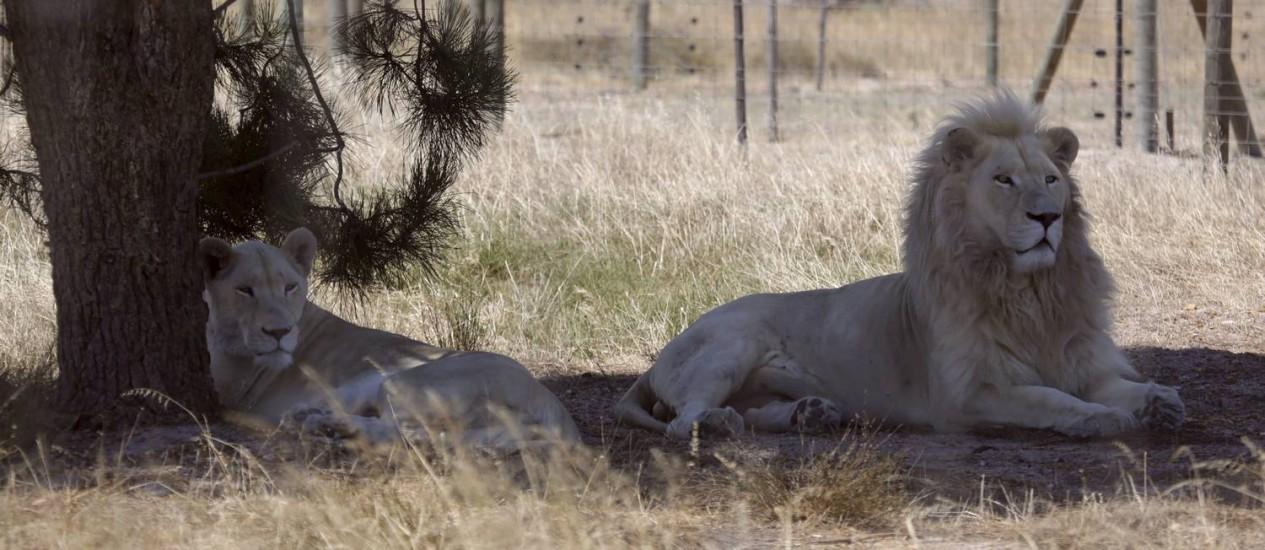 Nala e Brutus no Drakenstein Lion Park, perto de Cape Town: Brutus foi pai de três filhotes depois da vasectomia Foto: MARK WESSELLS / REUTERS