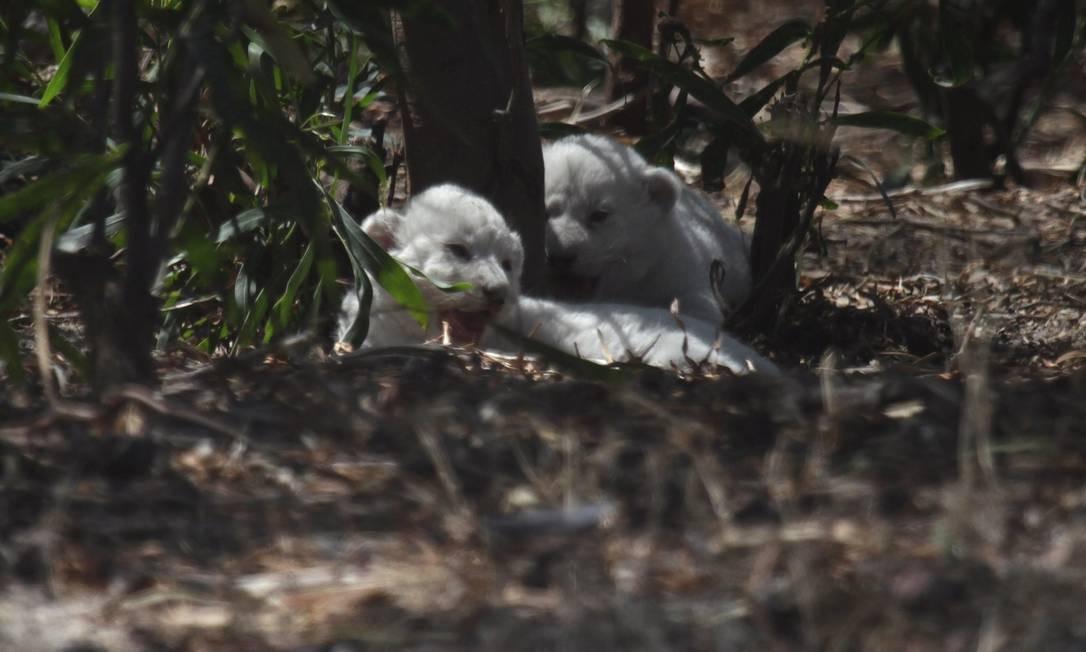 Leão vasectomizado tem três filhotes e voltará à mesa de cirurgia