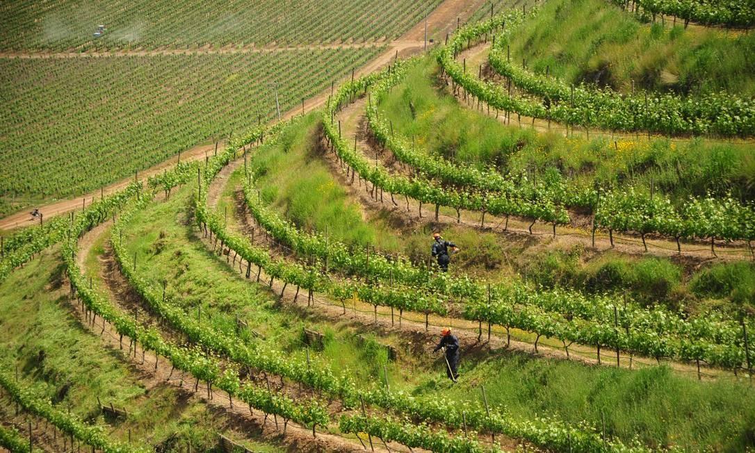 Os vinhedos da vinícola Santa Cruz Foto: Jaime Bórquez / Divulgação