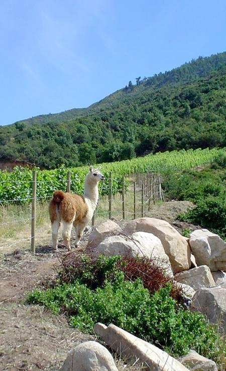 Uma lhama passeia na vinícola Montes: cuidado com o meio ambiente Foto: Divulgação